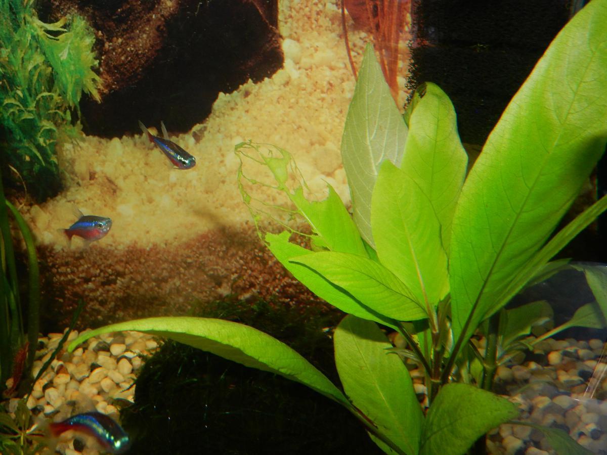 Болезни аквариумных растений. Нехватка калия у лимонника.