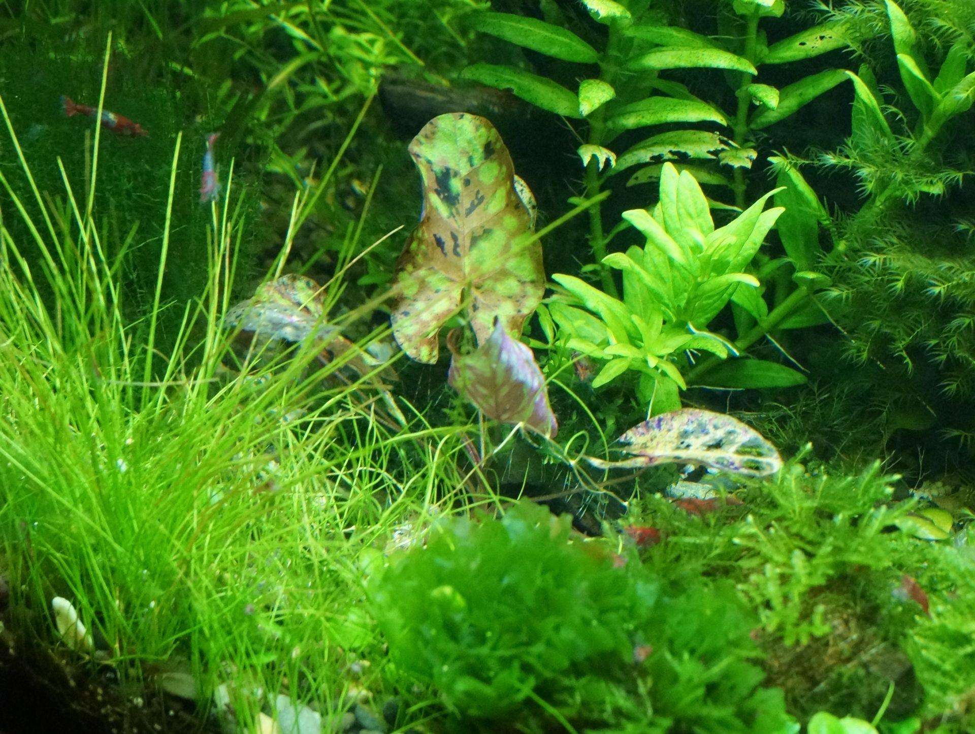Болезни аквариумных растений.Недостаток фосфатов в аквариуме.