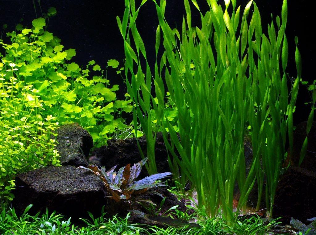 Как посадить аквариумные растения. Аквариумистика.  Аквадизайн. Валлиснерия фото. Неприхотливые аквариумные растения