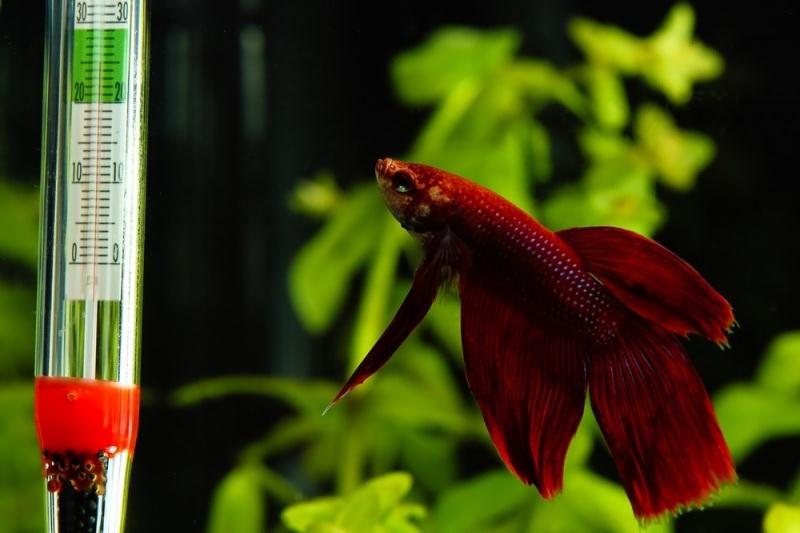 Болезни аквариумных растений. Средняя допустимая температура воды колеблется от 20 до 28 С°.