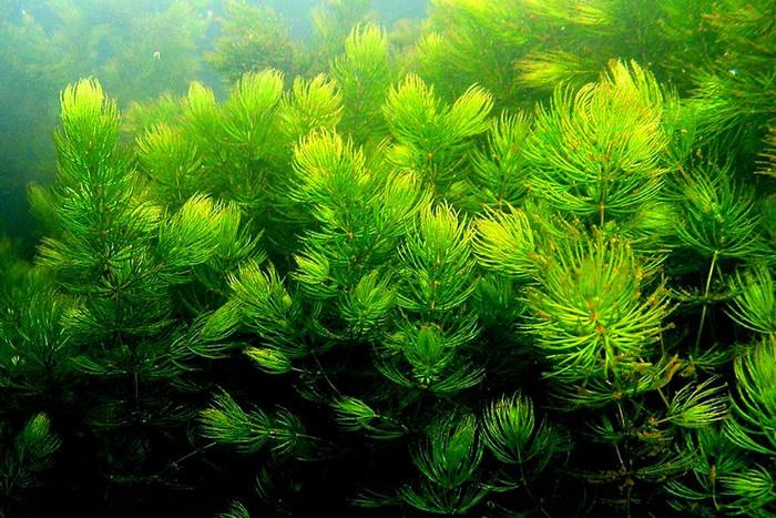 Неприхотливые аквариумные растения. Роголистник