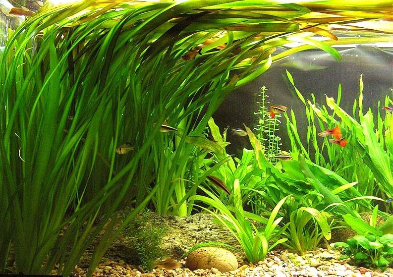 Неприхотливые аквариумные растения. Валлиснерия гигантская. Акваспешиал сайт. Aquaspecial