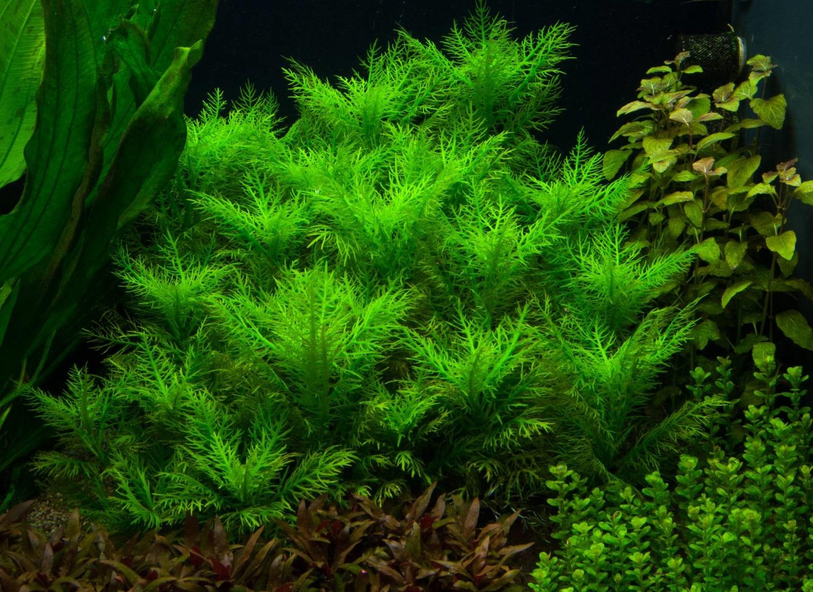 Неприхотливые аквариумные растения. Гигрофила бальзамика