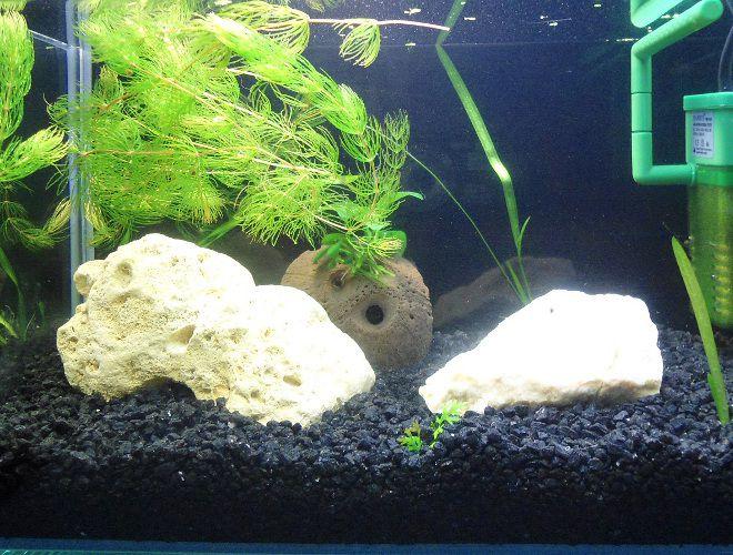 Как посадить аквариумные растения. Роголистник, закрепленный на кокосе. Кака посадить плавающее аквариумное растение