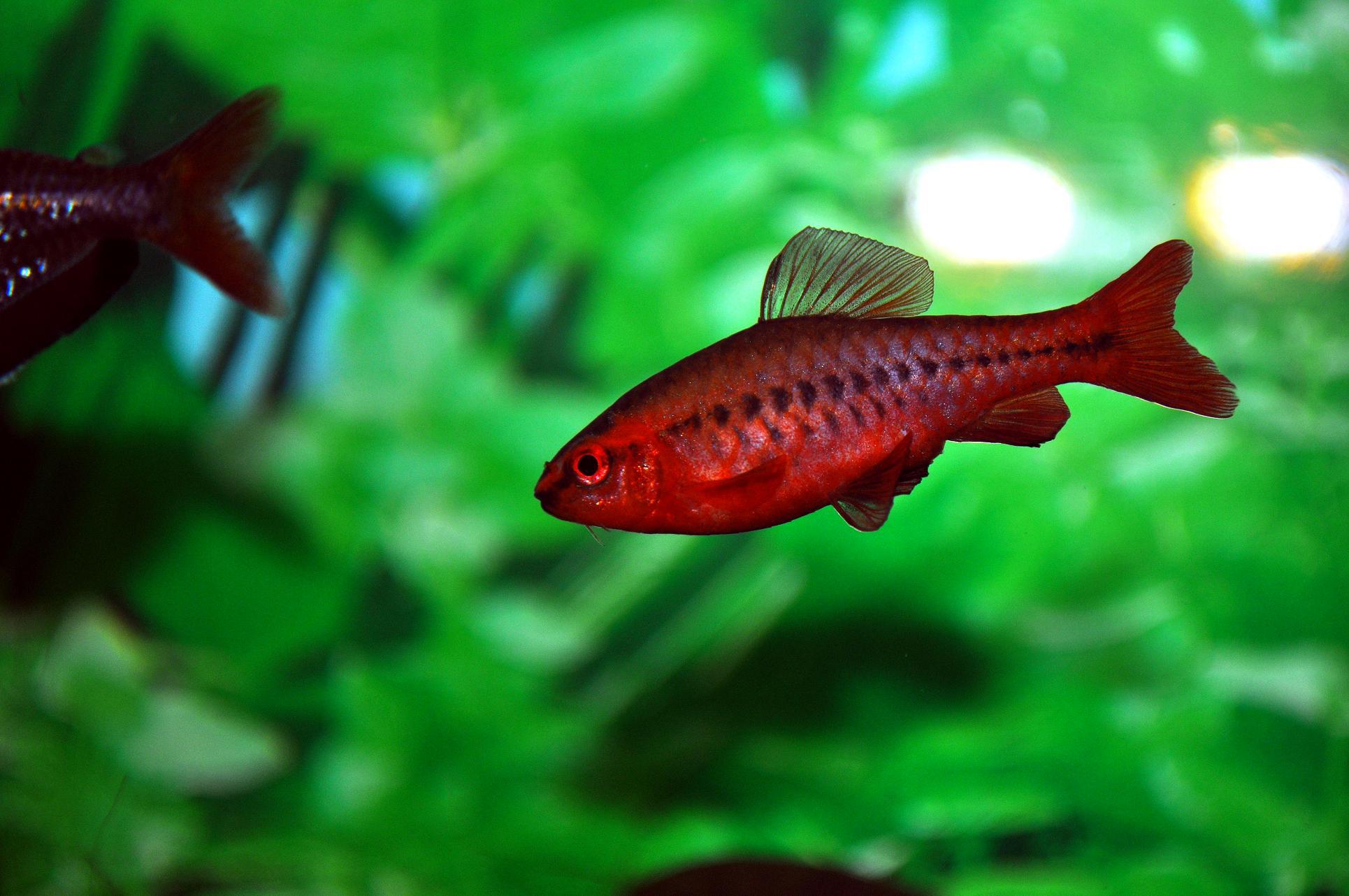 Неприхотливые аквариумные рыбки. Вишневый барбус