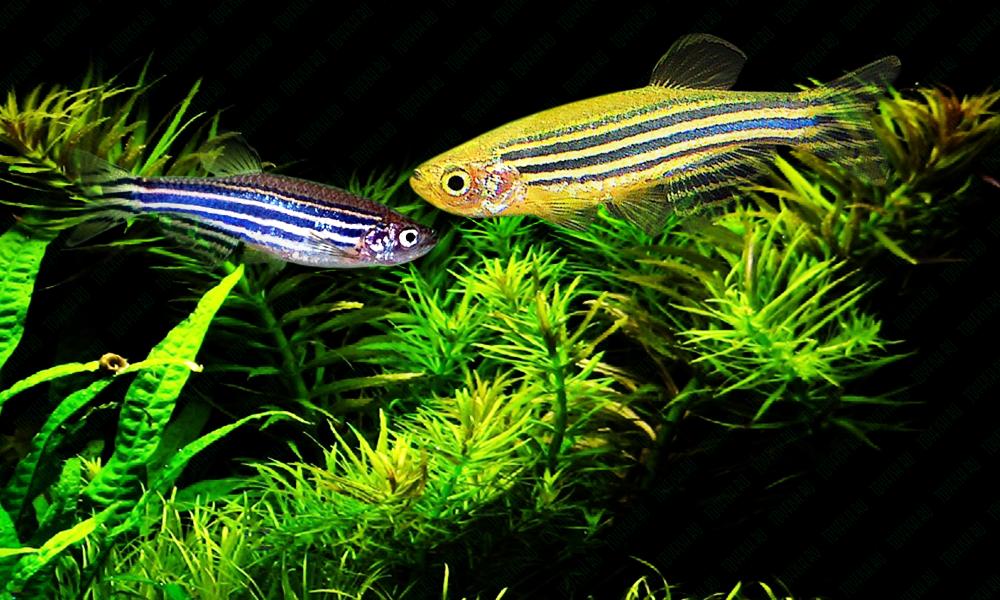 Неприхотливые аквариумные рыбки. Данио рерио