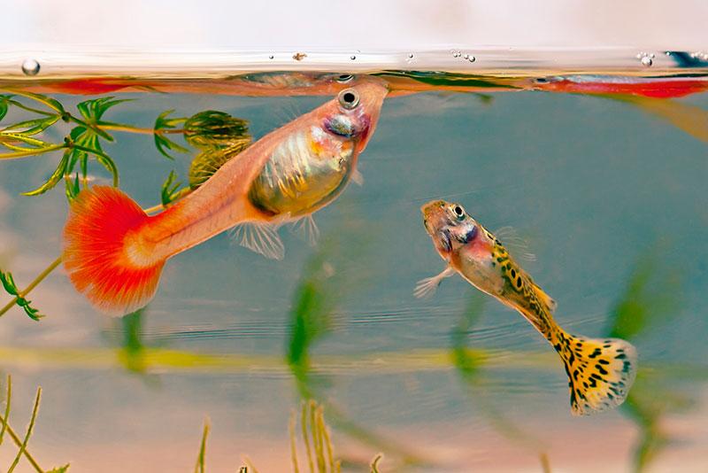 Гуппи. Содержание, разведение, виды. Неприхотливые аквариумные рыбки. Живородящие рыбки