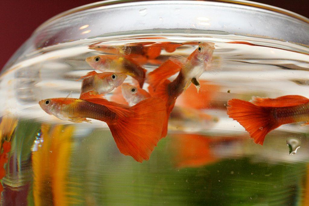 Гуппи в круглом аквариуме. Содержание, разведение, виды гуппи. Живородящие аквариумные рыбки. Неприхотливые аквариумные рыбки