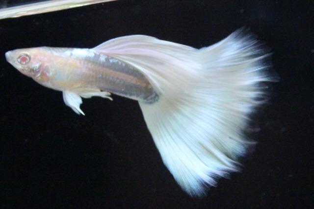 Гуппи. Содержание, разведение, виды. Гуппи альбинос. Белая гуппи. Неприхотливые аквариумные рыбки
