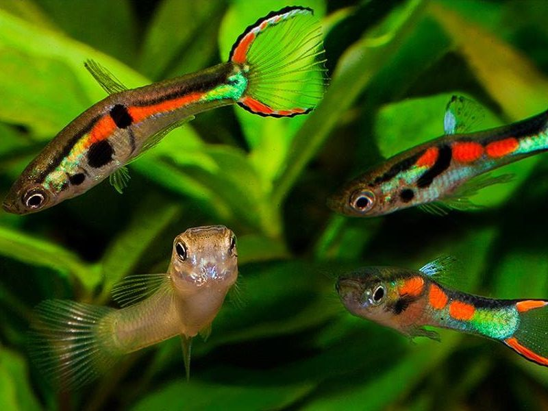 Неприхотливые рыбки гуппи эндлера
