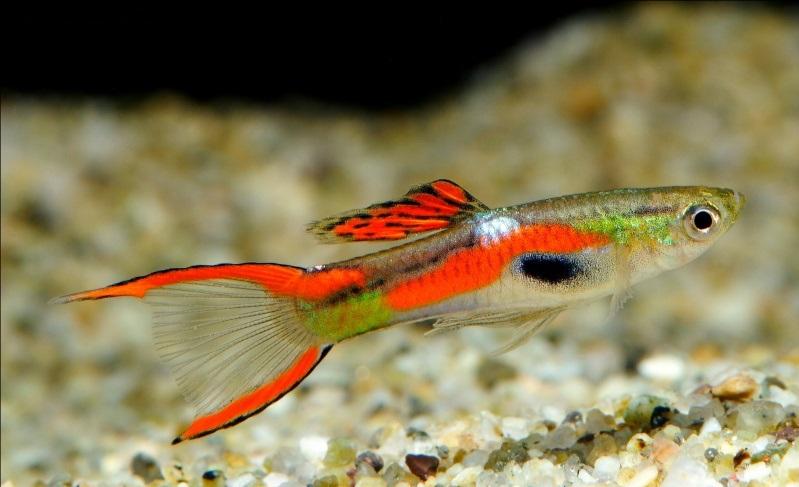 Гуппи эндлера фото. неприхотливые аквариумные рыбки