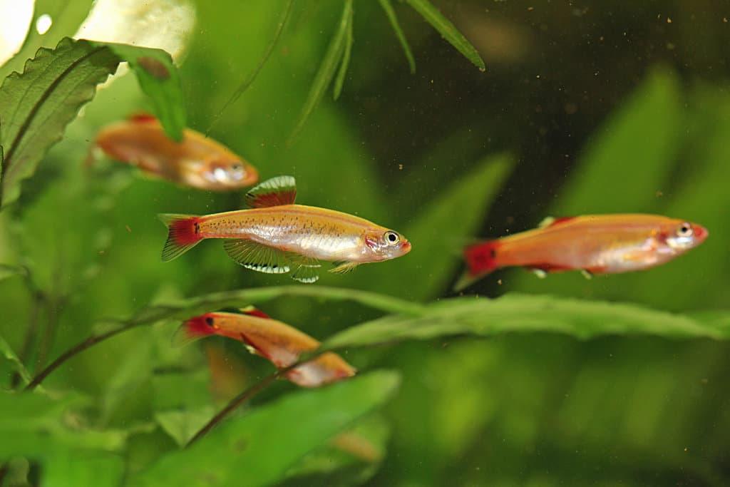 Неприхотливые рыбки кардиналы