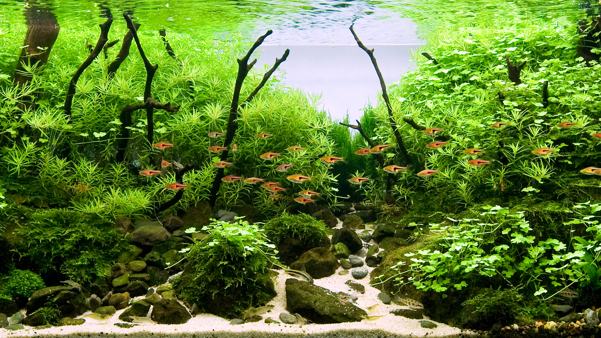 Как подготовить корягу для аквариума? Из какого можно сделать корягу