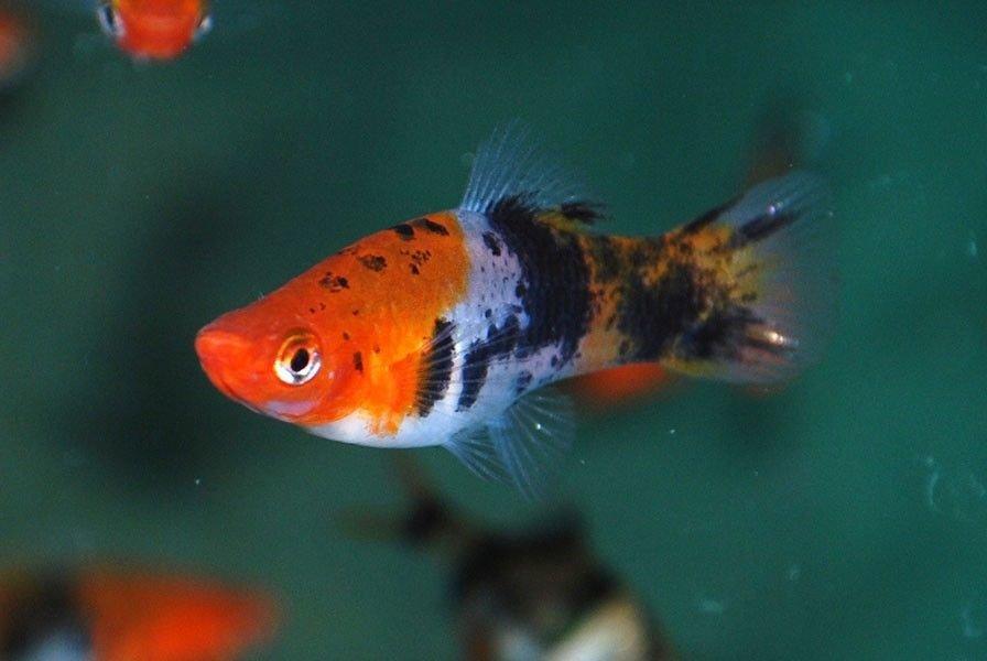Неприхотливые аквариумные рыбки. Меченосец ситцевый