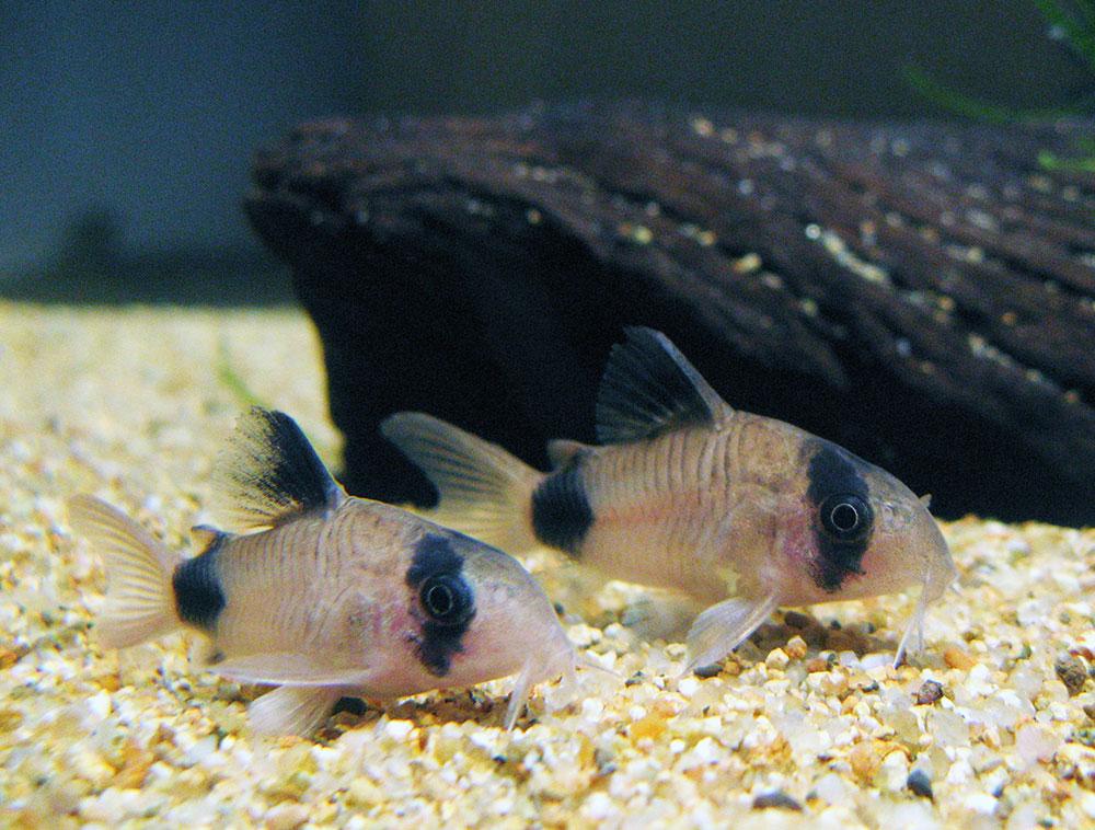 Неприхотливые аквариумные рыбки. Коридорас панда