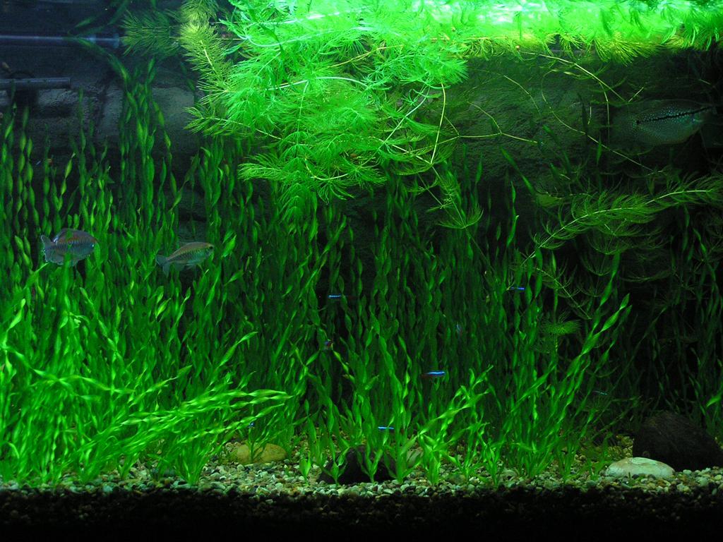Запуск аквариума пошагово. Как запустить аквариум начинающему аквариумисту. Дизайн аквариума. Как посадить аквариумные растения. Валиснерия спиральная. Роголистник