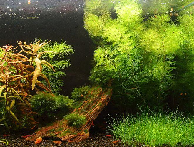 Роголистник в аквариуме: Описание, содержание, разновидность