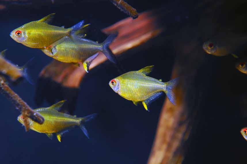 Неприхотливые аквариумные рыбки. Тетра лимонная