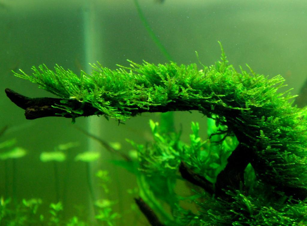 Яванский мох на коряге. Как посадить яванский мох на корягу. Аквадизайн