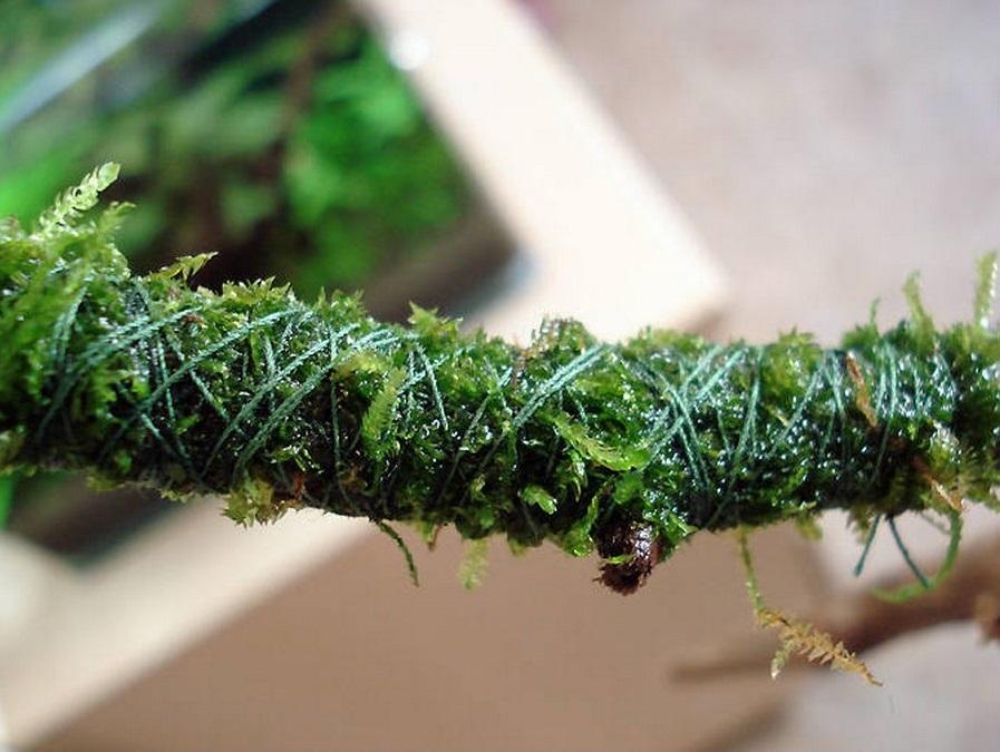 Яванский мох.  Как посадить мох на корягу. Мох аккуратно раскладывают тонким слоем на поверхности коряги и приматывают тонкой леской или х/б нитью.