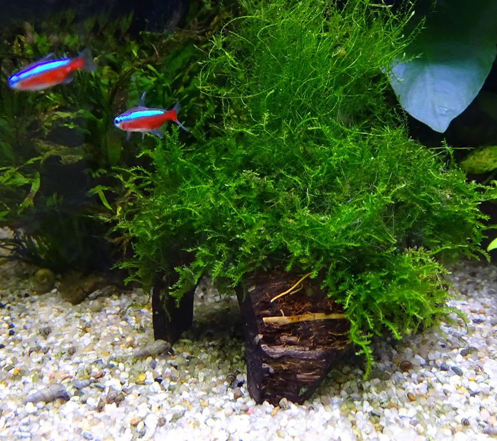 Мох на кокосе.Яванский мох. Как посадить мох. Плавающее аквариумное растение.