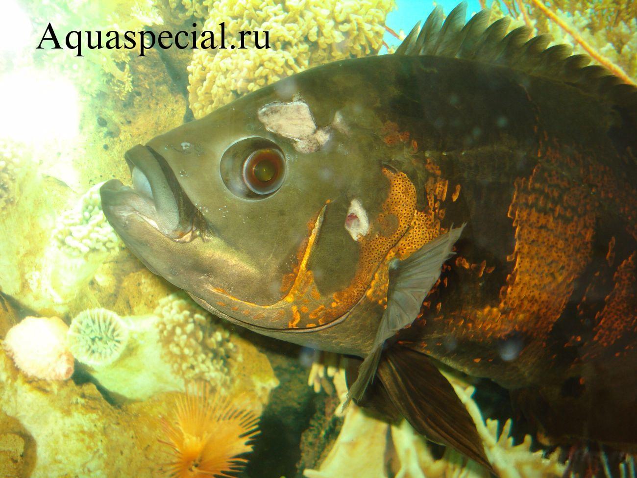 Болезни аквариумных рыбок: Симптомы, лечение. Гексамитоз. Астронотус заболел. Дыры в голове у рыбы.