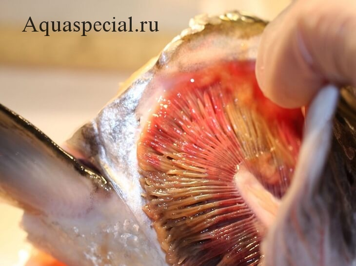 Болезни аквариумных рыбок: Симптомы, лечение. Бранхимикоз или жаберная гниль. Инфекционные заболеванмя рыб