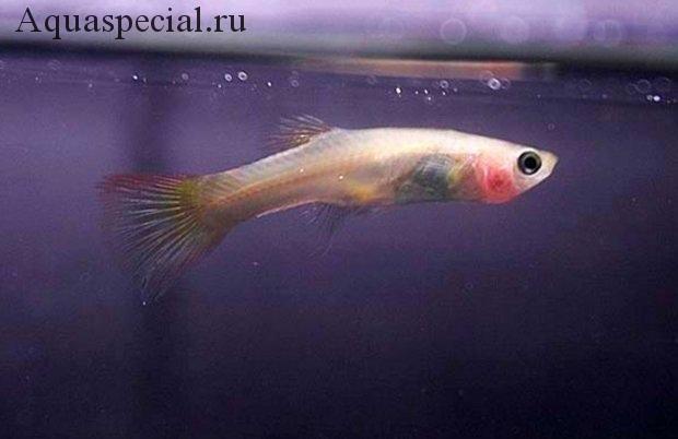 Болезни аквариумных рыбок: Симптомы, лечение. Микобактериоз  аквариумных рыб. Инфекционные заболевания рыб. Туберкулез аквариумных рыб. Истощение рыбок что за болезнь. Выпадает чешуя у рыбки