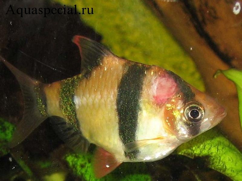Болезни аквариумных рыбок: Симптомы, лечение. Язвенная болезнь аквариумных рыбок. Пучеглазие аквариумных рыб