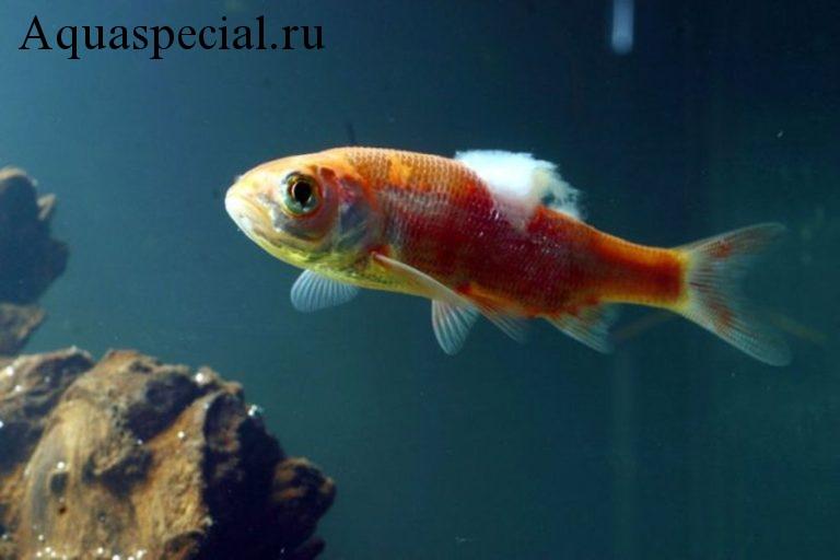 Болезни аквариумных рыбок: Симптомы, лечение. Дерматомикоз аквариумных рыб. Ватообразный налет на рыбе. Склеивание плавников. Грибковые заболевания аквариумных рыбок