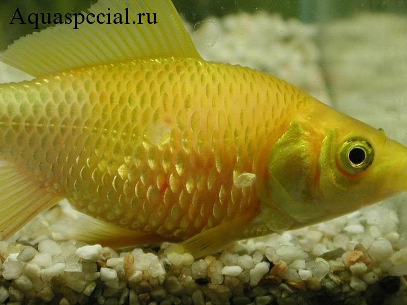 Болезни аквариумных рыбок: Симптомы, лечение. Лепидортоз. Ерошение чешуи. Выпадение чешуи. Аквариумные рыбки. Инфекционные заболевания рыбок