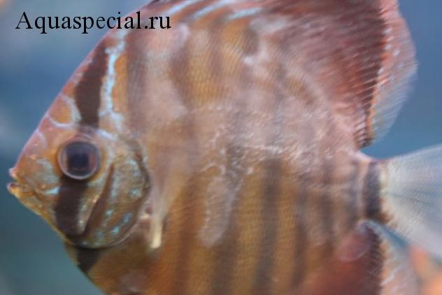 Болезни аквариумных рыбок. Ихтиободоз. Костиоз. Слизь на теле рыбки.  Налет на рыбе