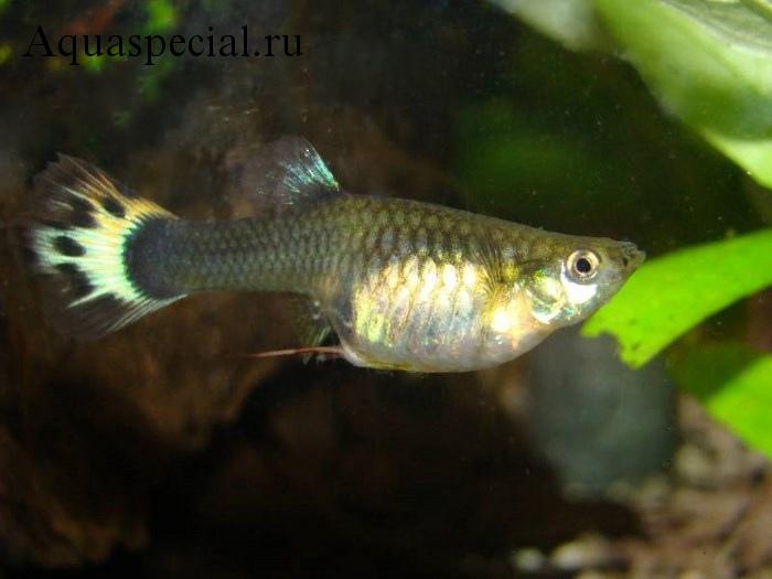 Болезни аквариумных рыбок: Симптомы, лечение. Паразиты у аквариумной рыбки. Нить у анального отверстия рыбы.