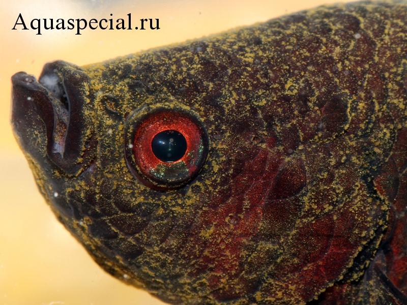 Болезни аквариумных рыбок: Симптомы, лечение. Бархатная болезнь. Оодиниоз. Желтый налет на рыбе.