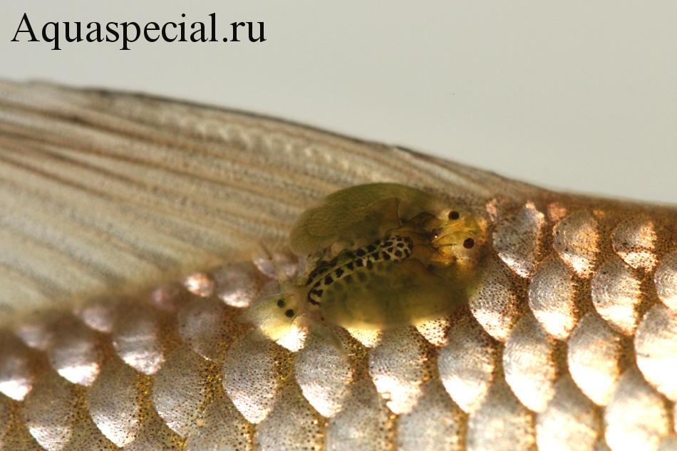 Болезни аквариумных рыбок: Симптомы, лечение. Аргулез. Рачок аргулюс. Заболевания рыб.