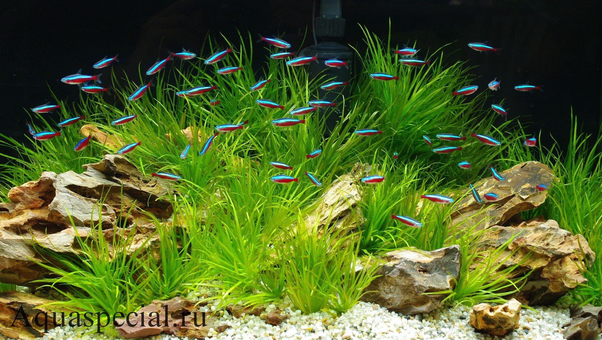 Рыбки Неоны: содержание, виды. Описание рыбок неонов с фото. Неоновая рыбка