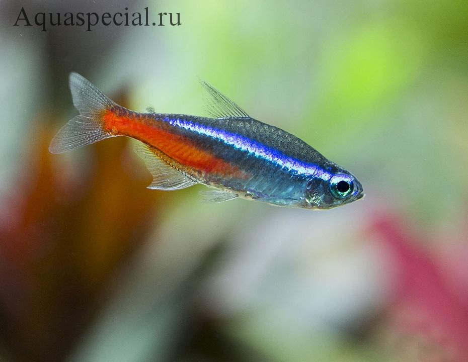 Рыбки Неоны: содержание, виды. Голубой неон фото