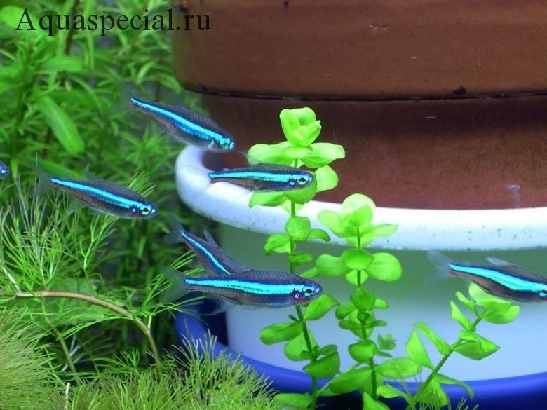 Рыбки Неоны: содержание, виды. Синий неон фото