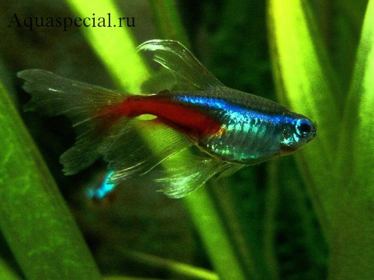 Рыбки Неоны: содержание, виды. Описание рыбок неонов с фото