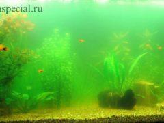 Зеленые водоросли в аквариуме.