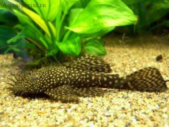 Неприхотливые аквариумные рыбки. Сомик Анциструс.