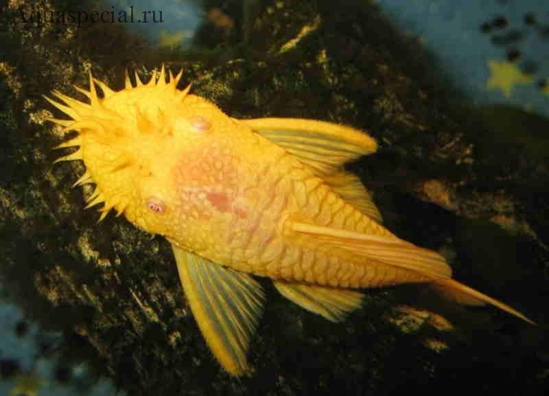Сомик анциструс золотой альбинос описание с фото. виды анциструсов