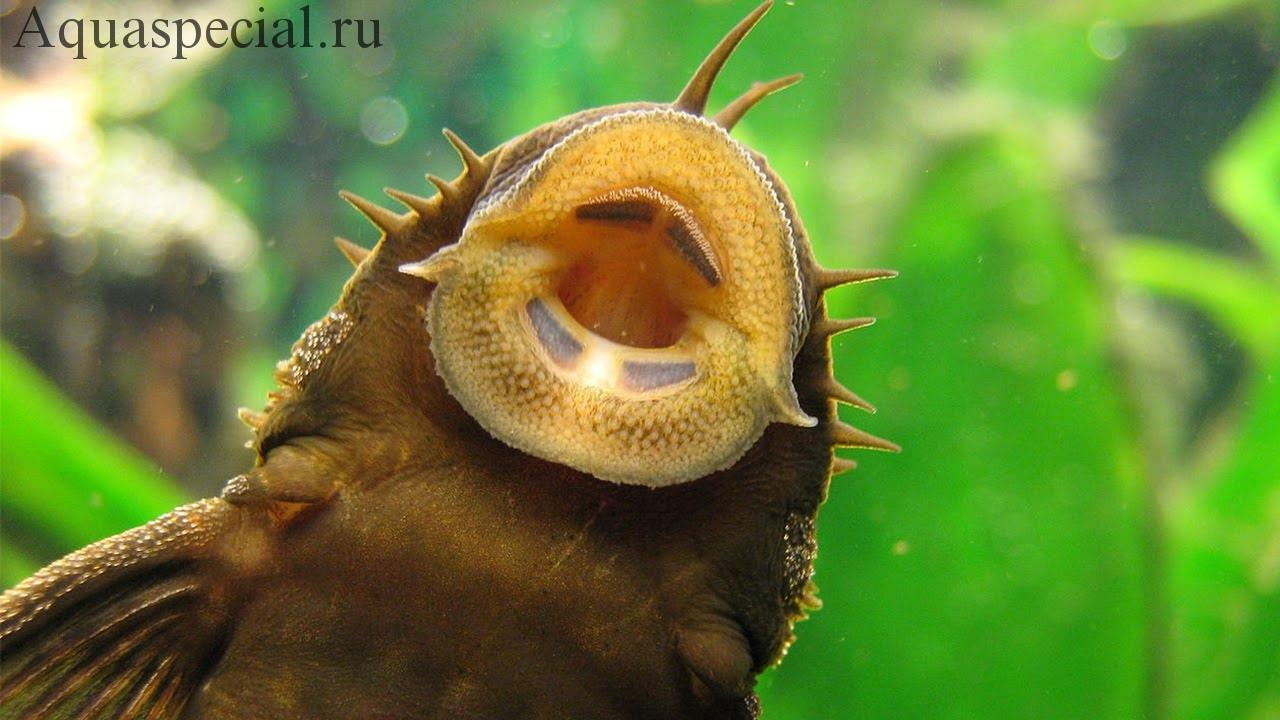 Анциструс. Неприхотливые аквариумные рыбки. Содержание