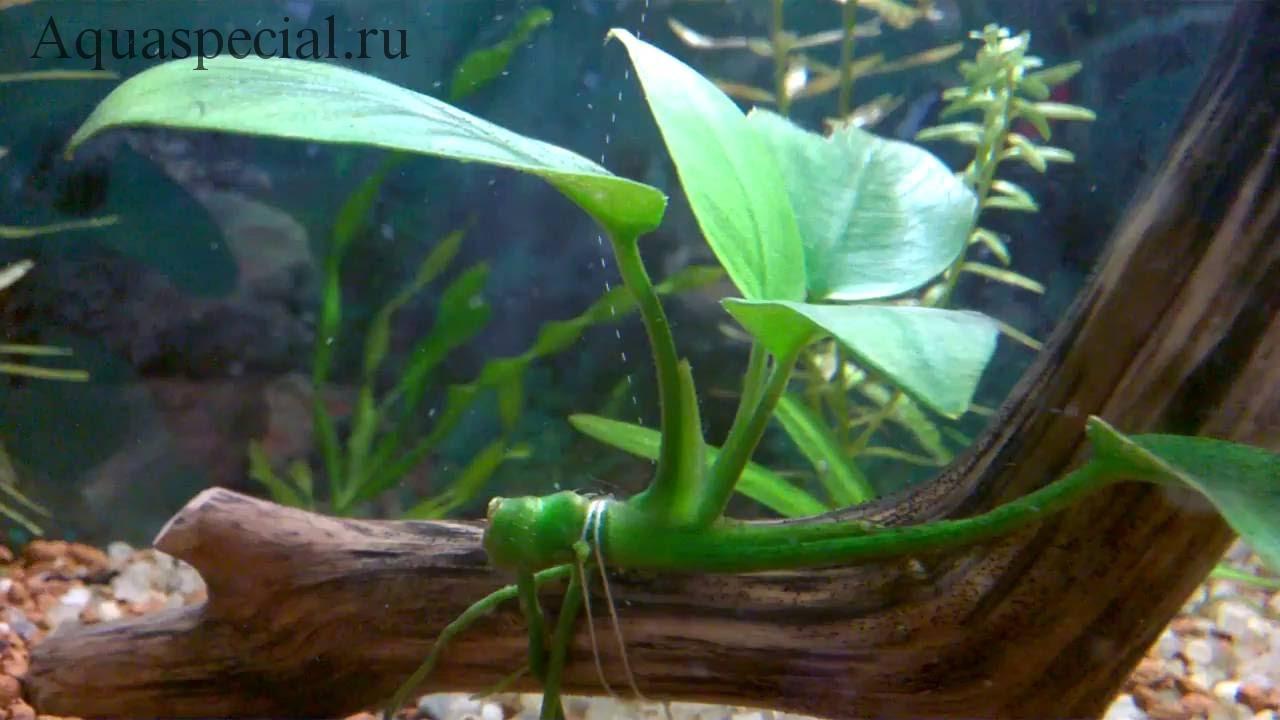 Анубиас в аквариуме содержание, описание с фото. Как посадить анубиас на корягу