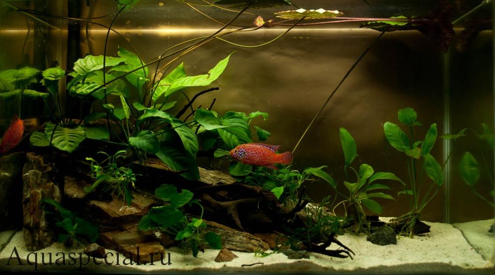 Анубиас в аквариуме содержание, описание с фото