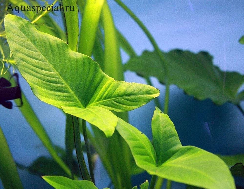 Анубиас в аквариуме содержание, описание с фото. Анубиас грацилис