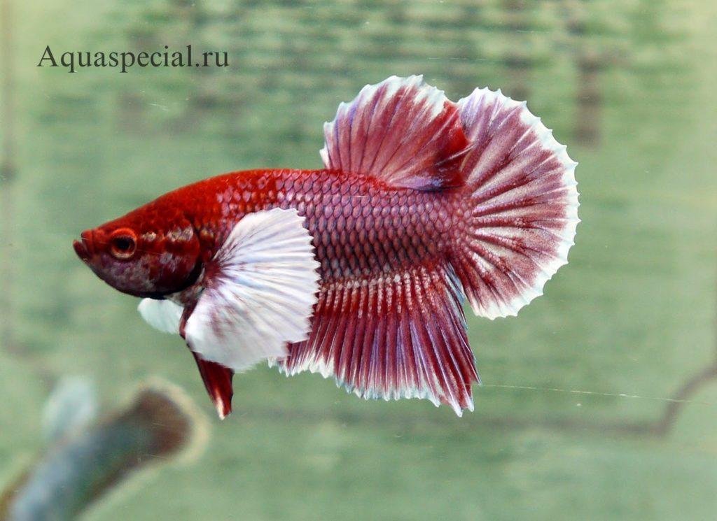 Рыбка сиамский петушок слоновое ухо фото