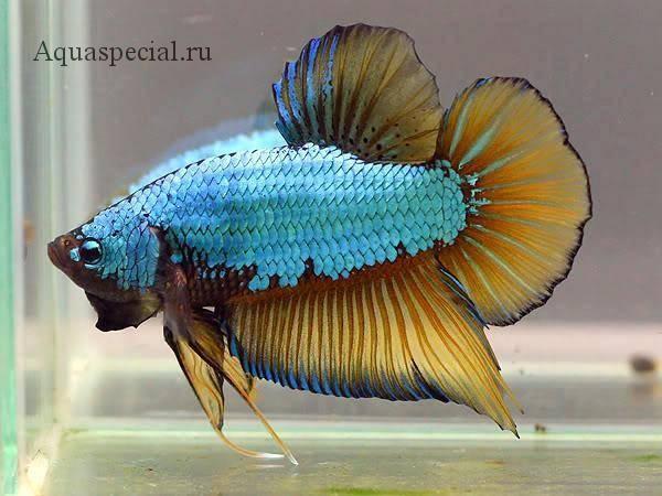 Рыбка сиамский петушок дракон фото. Петушок дракон