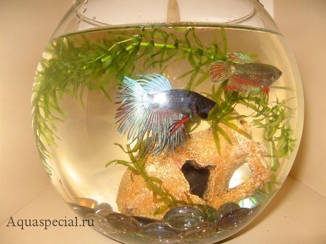 Рыбка петушок в круглом аквариуме фото