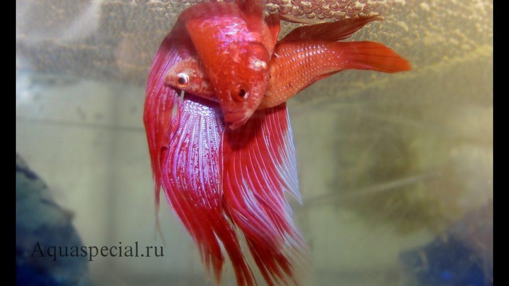 Рыбка петушок нерестится фото. Как разводить петушков в аквариуме. Нерест петушков